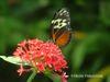 Butterflyorange1475